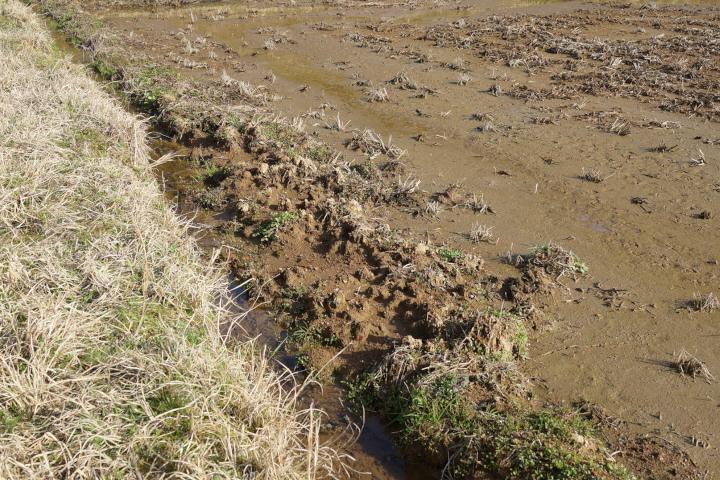 イノシシに壊された田んぼの畦_DSC01069.jpg