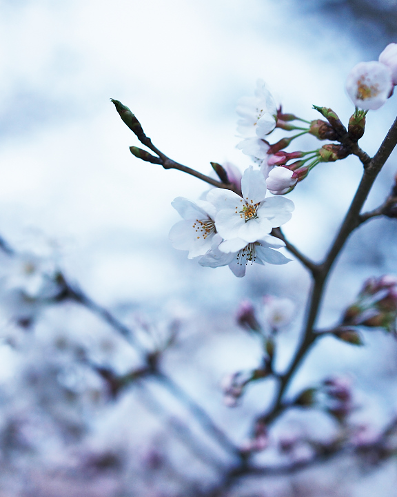 金沢桜DSC01106.jpg